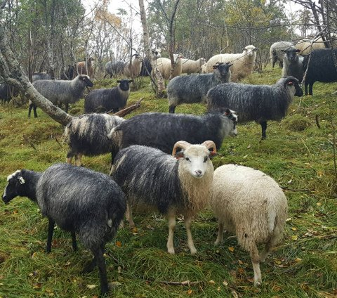 Ragnhild's Old Norse Sheep